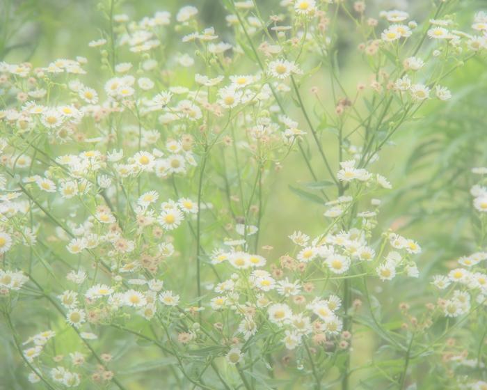 雨の日の白い花。_b0022268_20251367.jpg