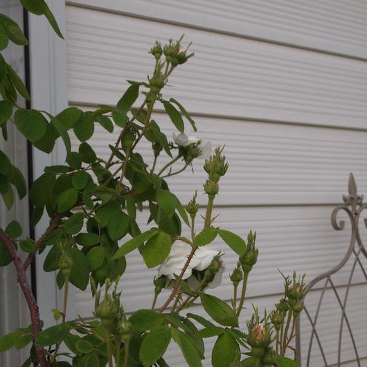オールドローズ、咲いてます。_a0292194_21143125.jpg