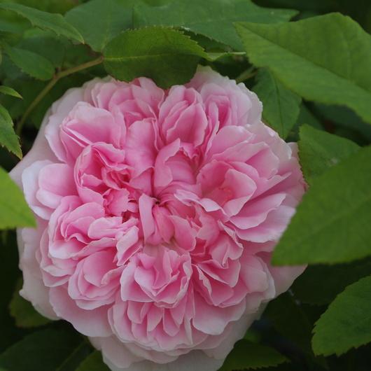 オールドローズ、咲いてます。_a0292194_21153195.jpg