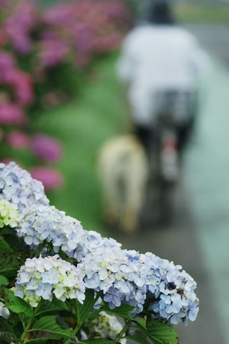 紫陽花の咲く道_d0116804_10464543.jpg