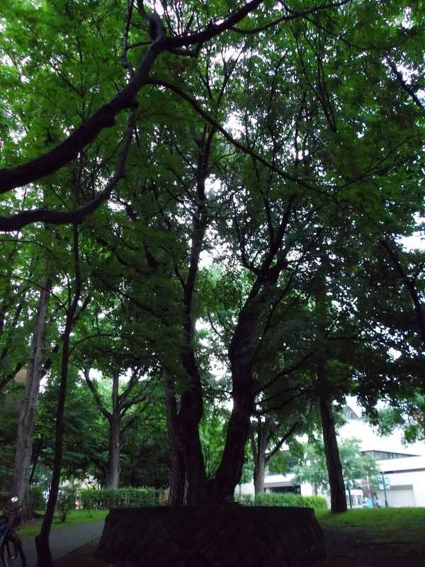 百年記念館南の古木_c0025115_20485074.jpg