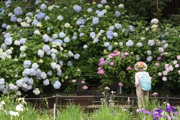 紫陽花を愛でる人もお洒落して_f0055131_17161134.jpg