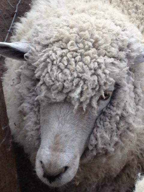 伊香保グリーン牧場 で 『羊達の喧騒』を味わう_e0168781_1261479.jpg
