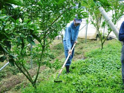 幻の柑橘「せとか」 幻ゆえの手のかかる栽培方法!その1_a0254656_17311647.jpg