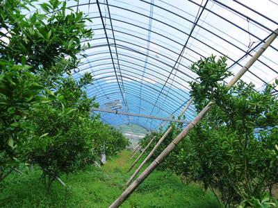 幻の柑橘「せとか」 幻ゆえの手のかかる栽培方法!その1_a0254656_17323326.jpg