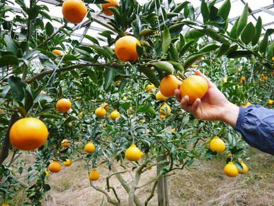 幻の柑橘「せとか」 幻ゆえの手のかかる栽培方法!その1_a0254656_17581752.jpg
