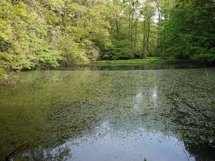 エビモに覆われた谷戸の池、昔日の面影なし(4・23)_c0014967_18413552.jpg