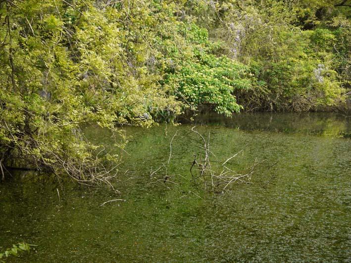 エビモに覆われた谷戸の池、昔日の面影なし(4・23)_c0014967_1843115.jpg
