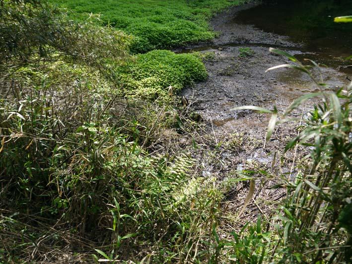 エビモに覆われた谷戸の池、昔日の面影なし(4・23)_c0014967_18434334.jpg