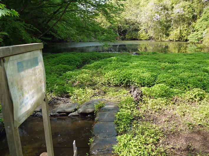 エビモに覆われた谷戸の池、昔日の面影なし(4・23)_c0014967_18442890.jpg
