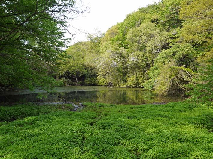 エビモに覆われた谷戸の池、昔日の面影なし(4・23)_c0014967_18493946.jpg