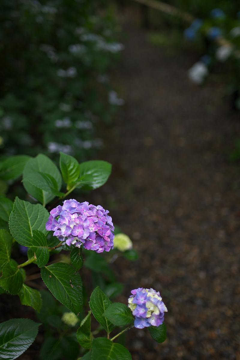 紫陽花 2013 <観音寺> 5_f0021869_22161332.jpg