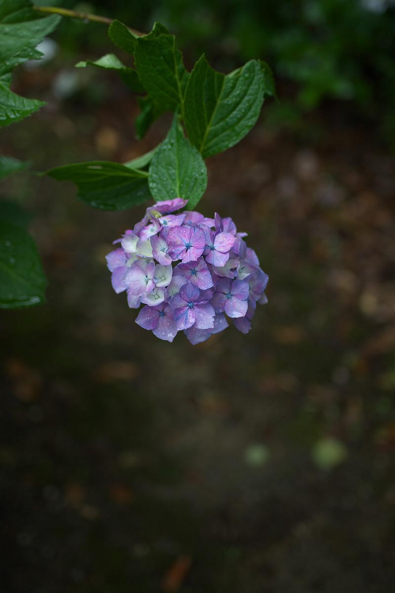 紫陽花 2013 <観音寺> 5_f0021869_22163885.jpg