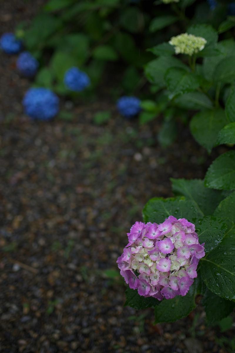 紫陽花 2013 <観音寺> 5_f0021869_22164130.jpg