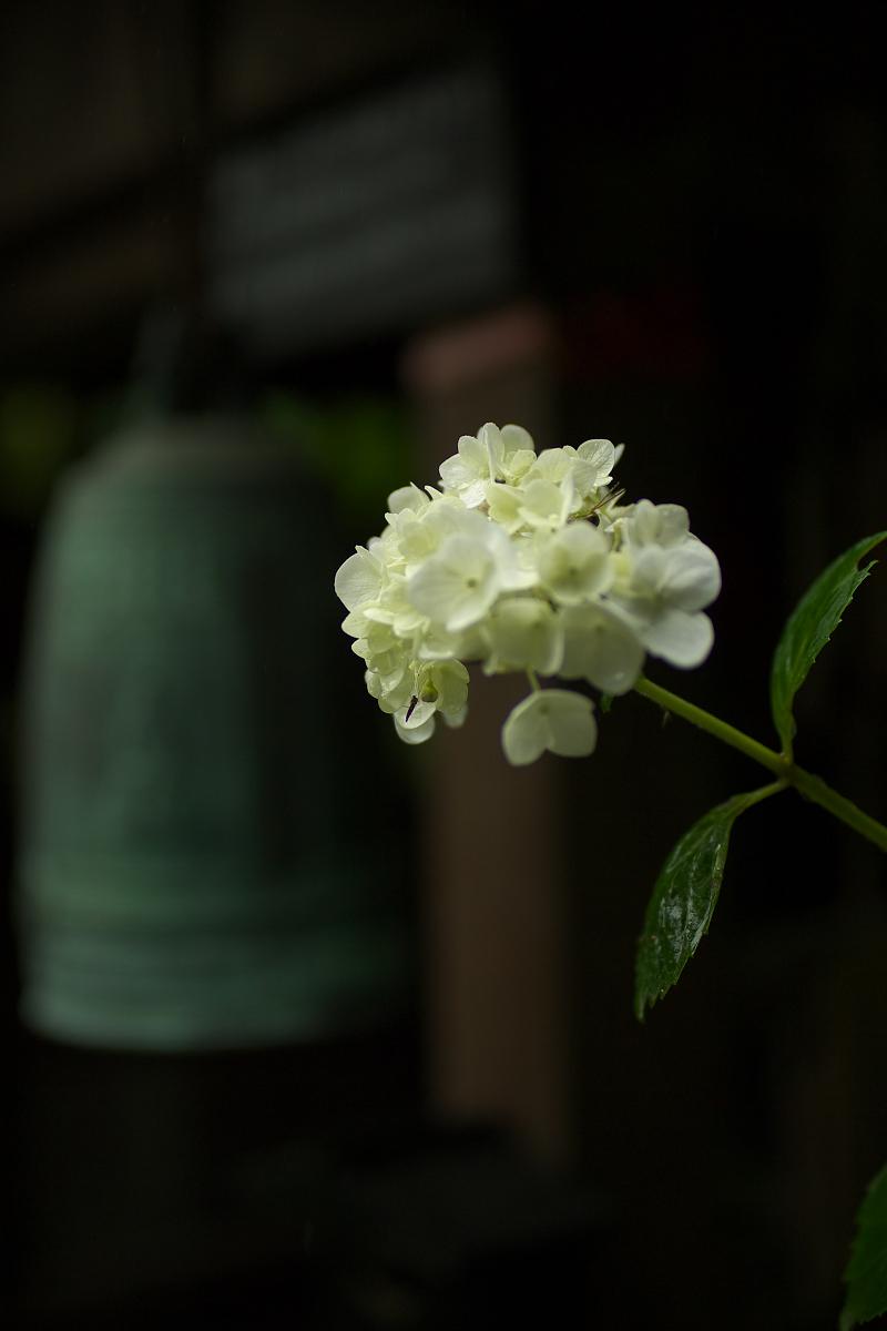 紫陽花 2013 <観音寺> 5_f0021869_22173358.jpg
