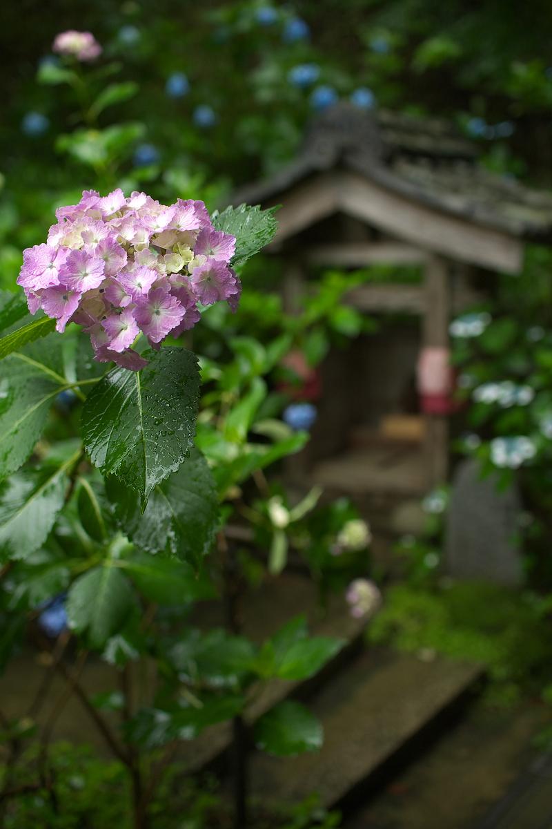 紫陽花 2013 <観音寺> 5_f0021869_22191553.jpg
