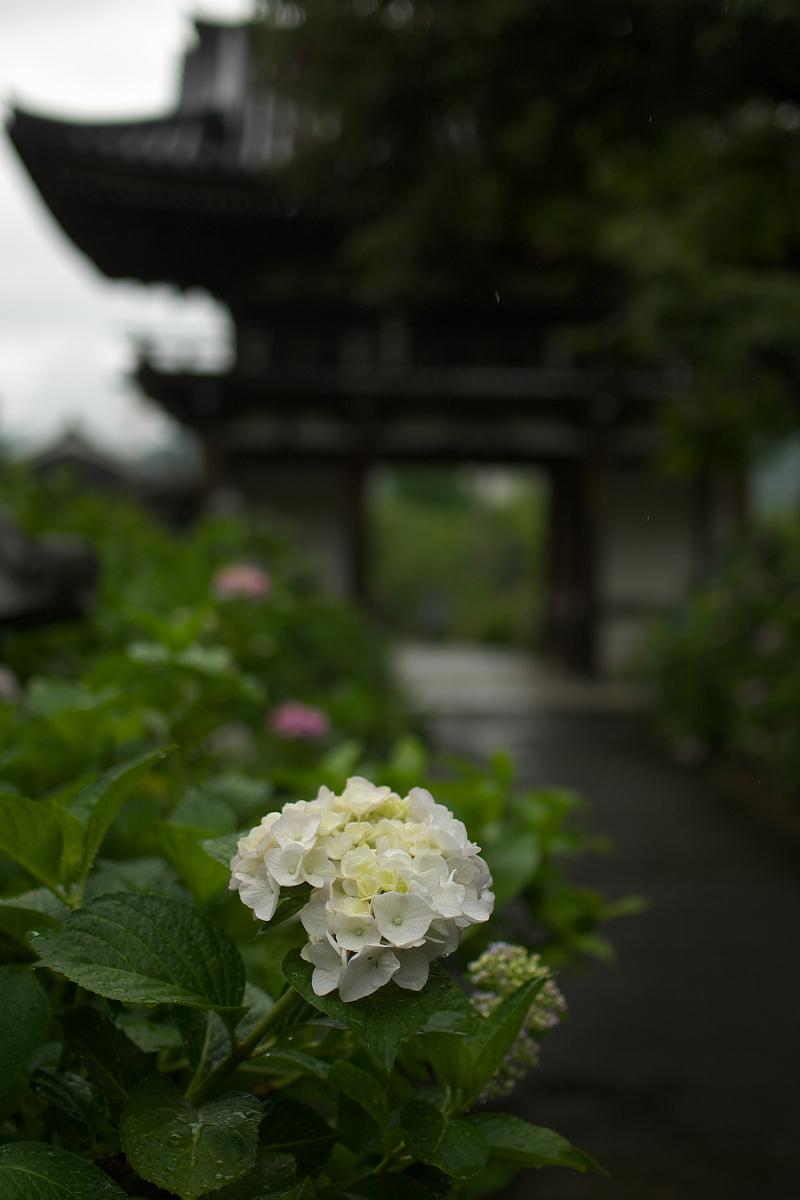 紫陽花 2013 <観音寺> 5_f0021869_2220377.jpg