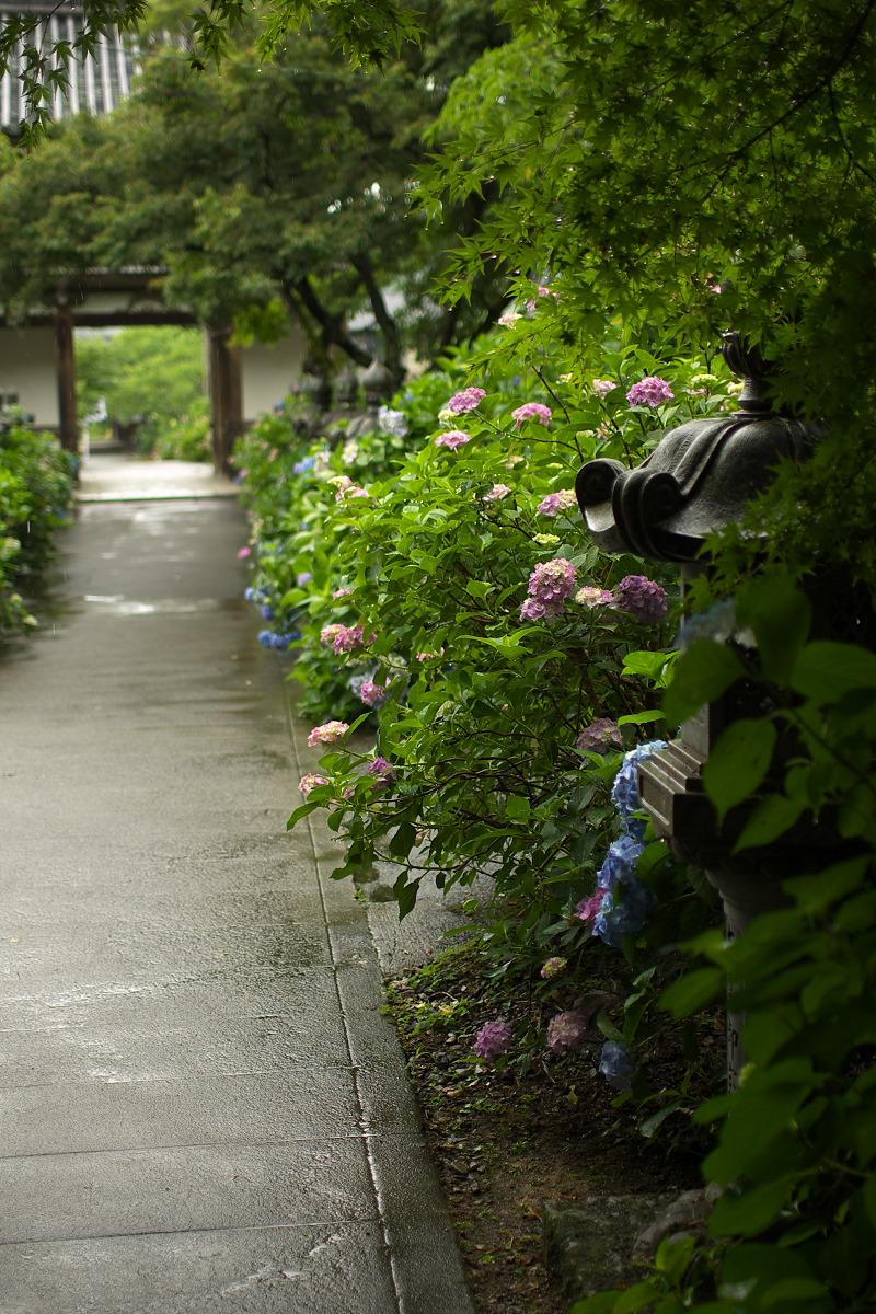 紫陽花 2013 <観音寺> 5_f0021869_2220891.jpg