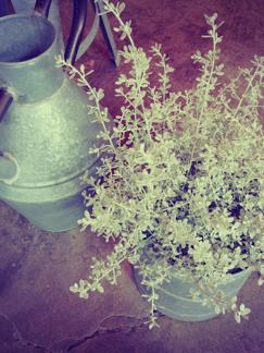 今週の鉢物さん_b0209477_20471051.jpg