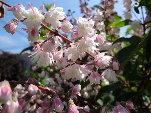サラサウツギ、白花ウツボグサなど♪_a0136293_1223012.jpg