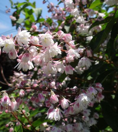 サラサウツギ、白花ウツボグサなど♪_a0136293_12254691.jpg