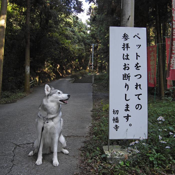 Memory of the second pilgrimage 1200km with husky HANA_c0049299_1455912.jpg