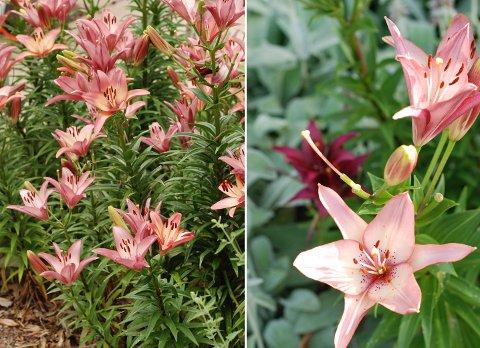 花壇の花たち(6月下旬)とブルージェイのヒナ_b0253205_0502086.jpg