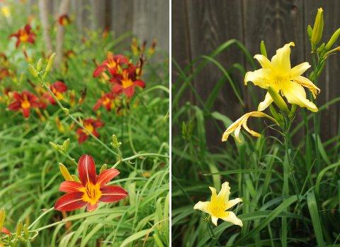 花壇の花たち(6月下旬)とブルージェイのヒナ_b0253205_052126.jpg