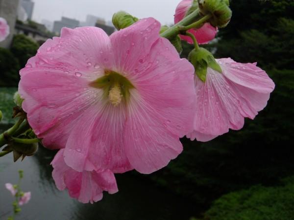 立ち葵も梅雨の花_f0055131_12341410.jpg