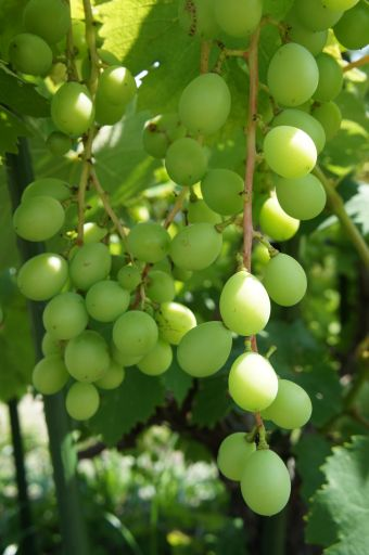 葡萄とブルーベリーとブラックベリー_f0155431_2126027.jpg