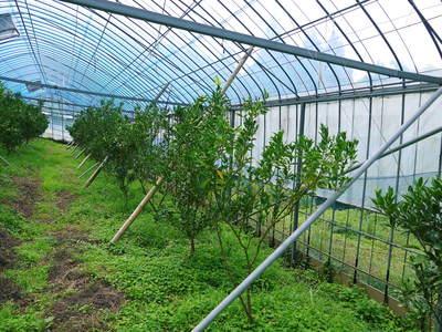 幻の柑橘「せとか」 幻ゆえの手のかかる栽培方法!その1_a0254656_16525763.jpg