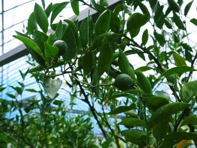 幻の柑橘「せとか」 究極ゆえの手のかかる栽培方法!その2_a0254656_16574698.jpg
