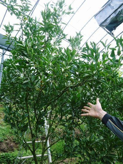 幻の柑橘「せとか」 究極ゆえの手のかかる栽培方法!その2_a0254656_1703836.jpg
