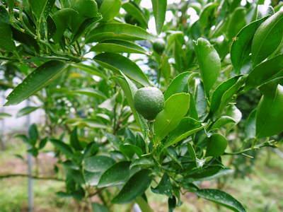 幻の柑橘「せとか」 究極ゆえの手のかかる栽培方法!その2_a0254656_17181483.jpg
