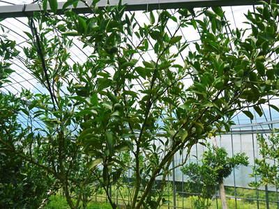 幻の柑橘「せとか」 究極ゆえの手のかかる栽培方法!その2_a0254656_17263243.jpg