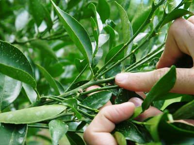 幻の柑橘「せとか」 究極ゆえの手のかかる栽培方法!その2_a0254656_175245.jpg