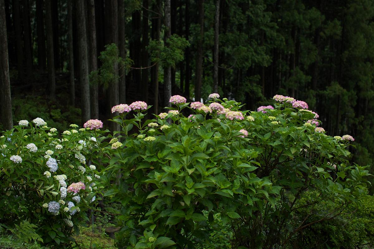 紫陽花 2013 <円満院> _f0021869_23515681.jpg