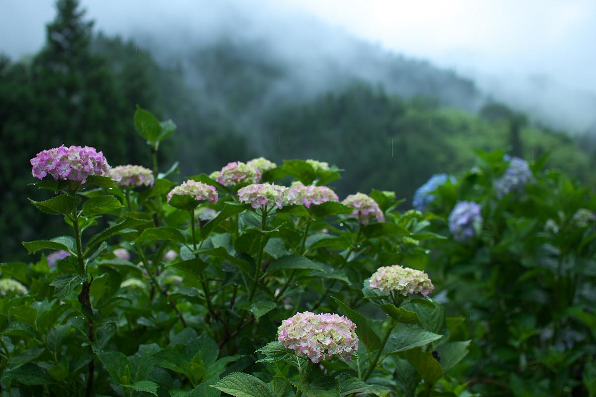 紫陽花 2013 <円満院> _f0021869_23531339.jpg
