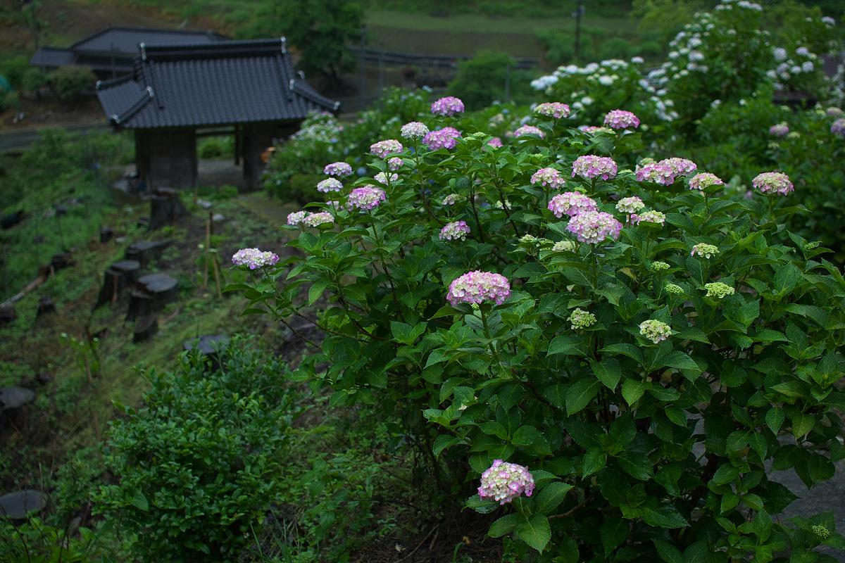 紫陽花 2013 <円満院> _f0021869_23532214.jpg