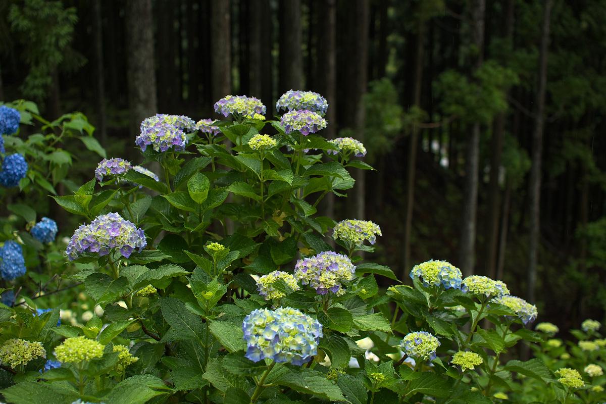 紫陽花 2013 <円満院> _f0021869_23532474.jpg