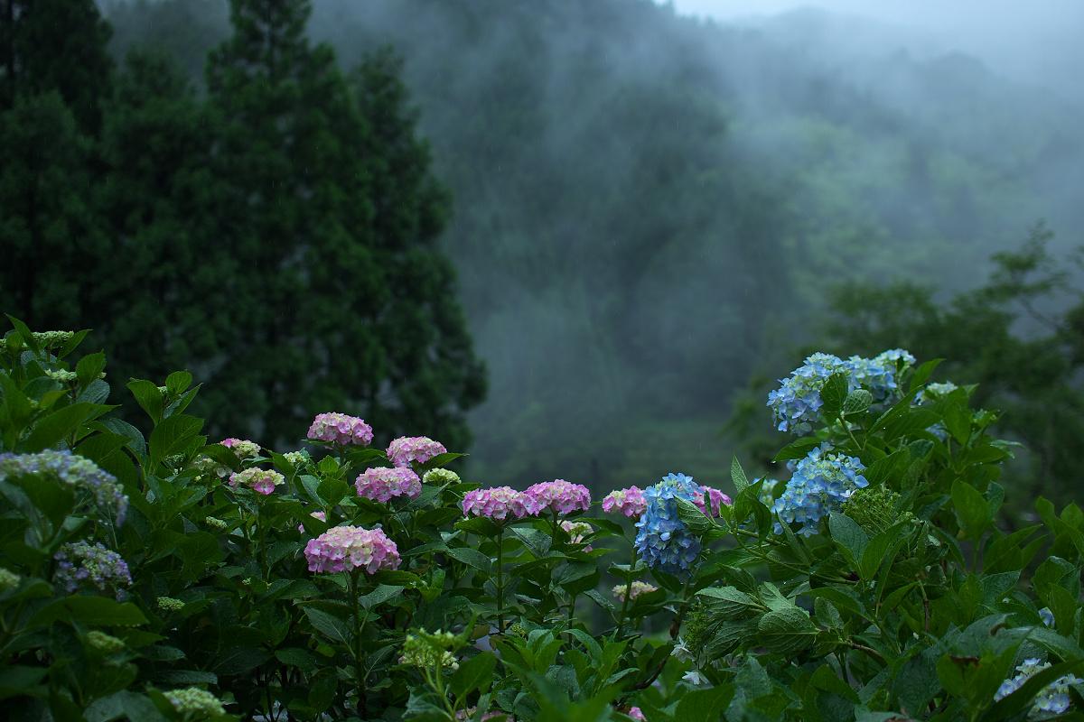 紫陽花 2013 <円満院> _f0021869_2354420.jpg