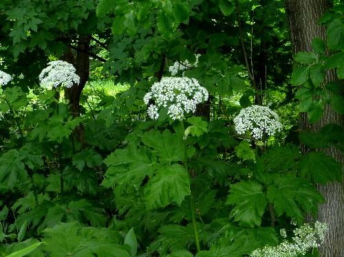 欝蒼とした緑の中で白い花が ...