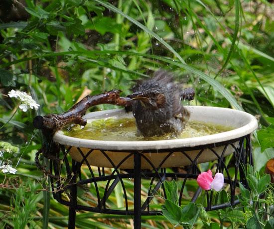 つがいで水浴び♪ ヒヨドリ、毎日来てまふ^^_a0136293_16141583.jpg