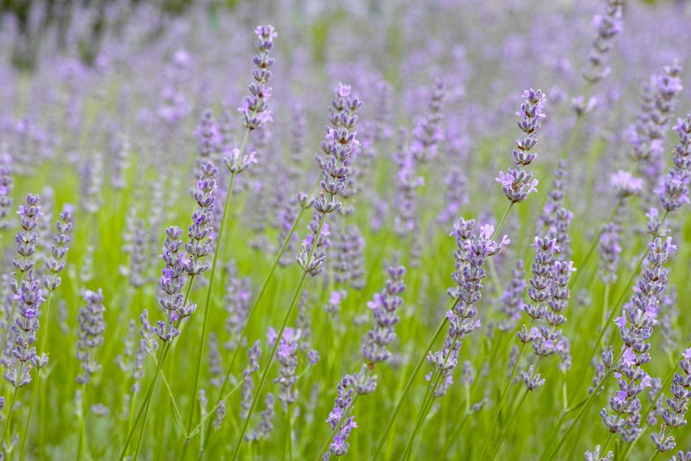 ラベンダーの季節 ~ゆいの花公園の夏~_c0223825_23502053.jpg