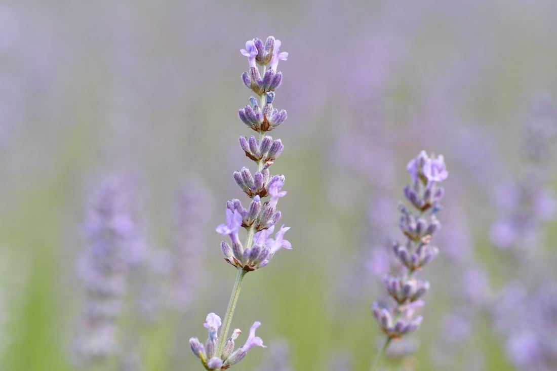 ラベンダーの季節 ~ゆいの花公園の夏~_c0223825_2355721.jpg
