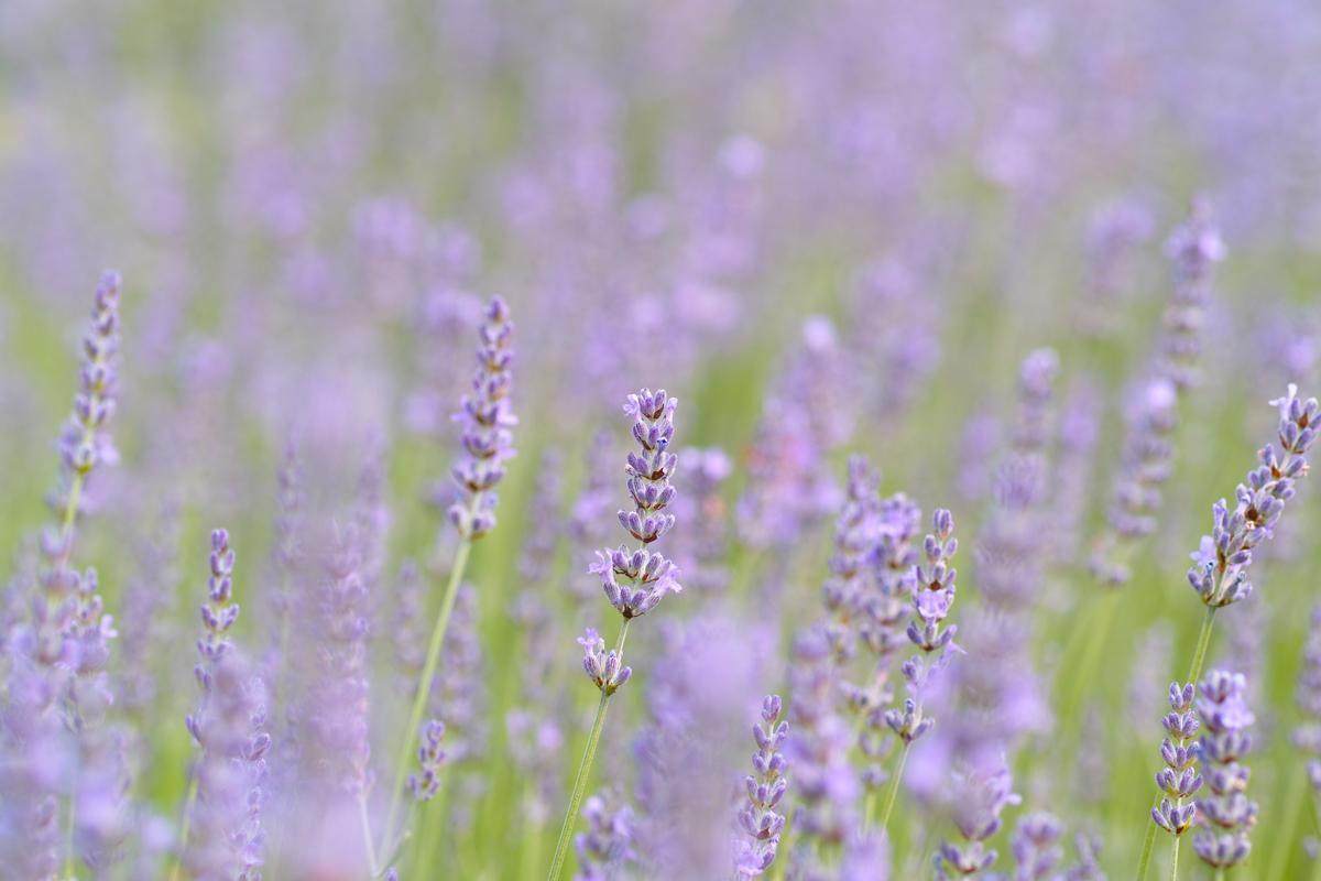 ラベンダーの季節 ~ゆいの花公園の夏~_c0223825_23583379.jpg