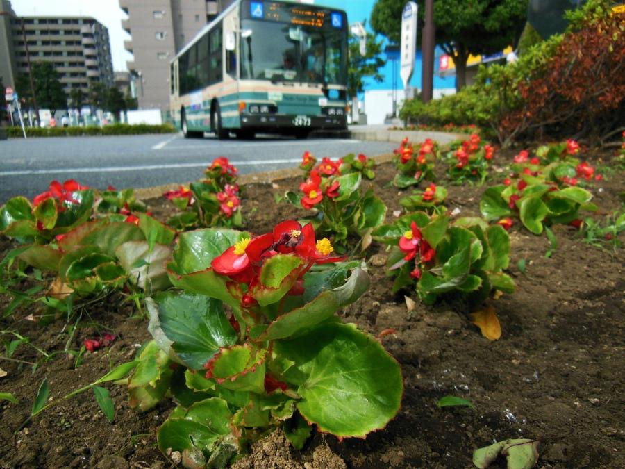東久留米駅周辺にベゴニアを植える_b0190576_183942.jpg