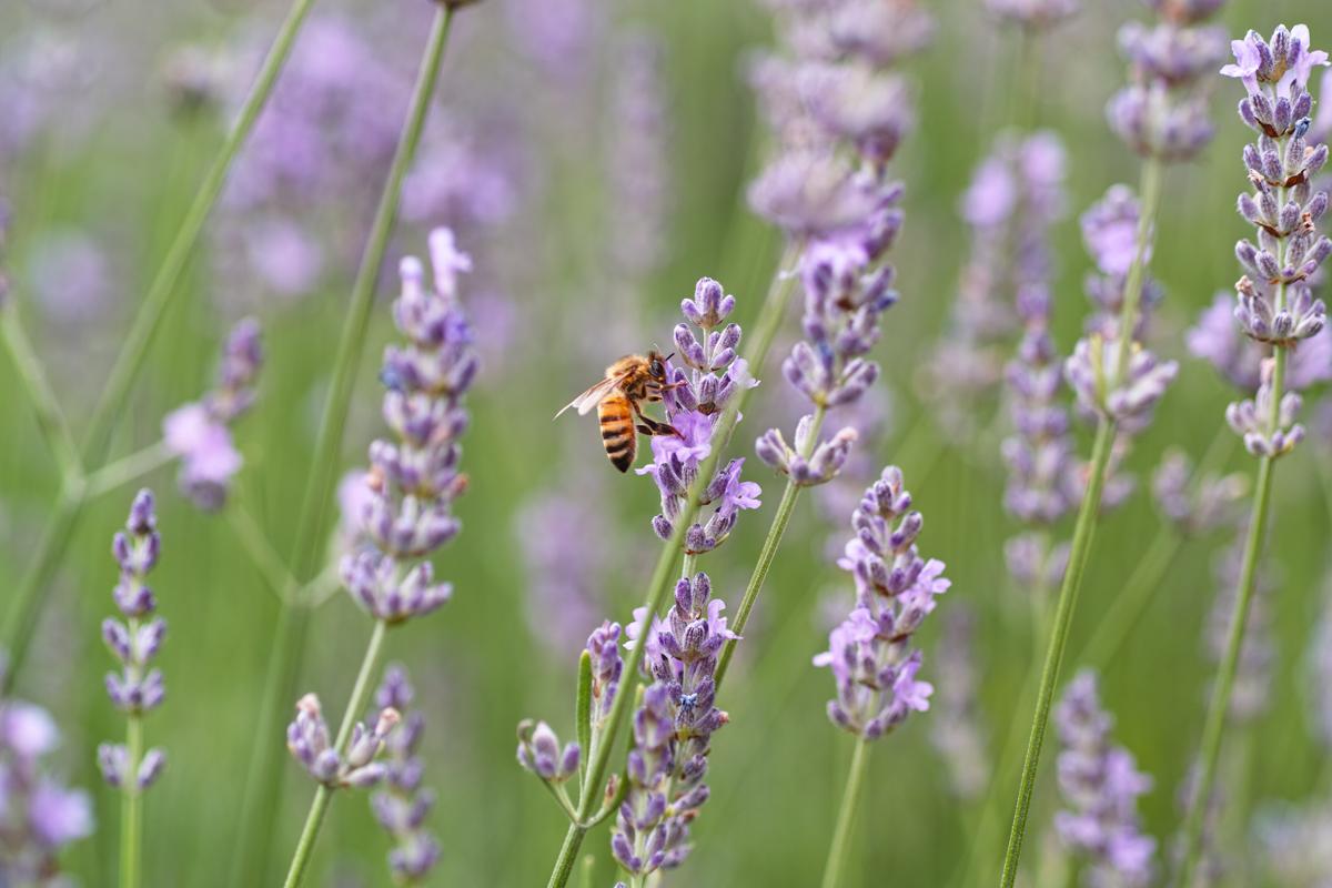 ラベンダーの季節 ~ゆいの花公園の夏~_c0223825_0142923.jpg