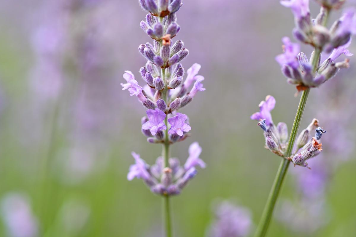 ラベンダーの季節 ~ゆいの花公園の夏~_c0223825_018943.jpg