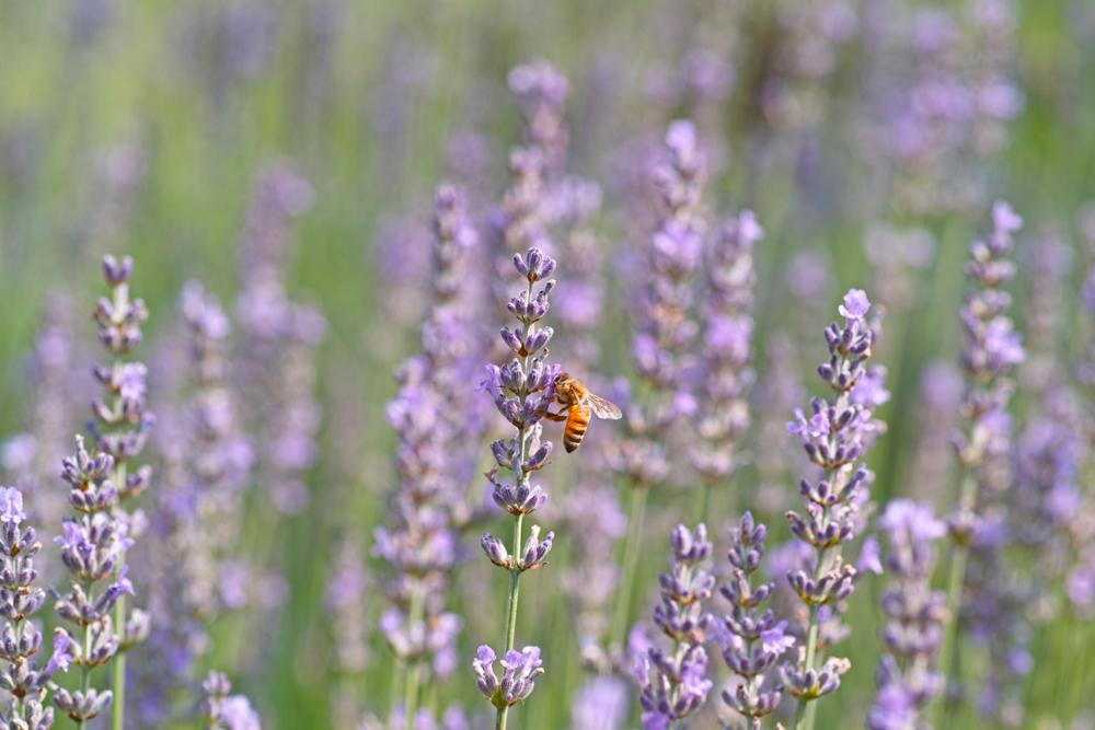 ラベンダーの季節 ~ゆいの花公園の夏~_c0223825_0224689.jpg